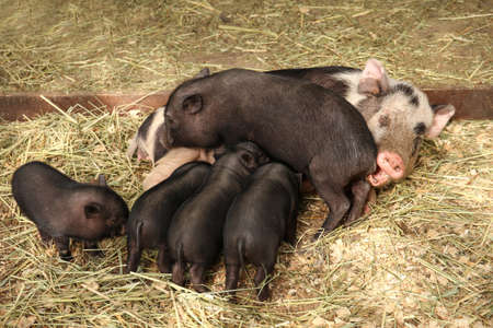 Pig with cute black piglets in petting zoo