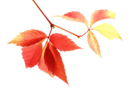Beautiful colorful autumn leaves on white background Stock Photo
