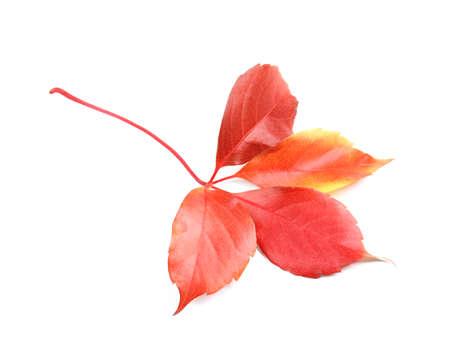 Autumn leaf on white background Stock Photo