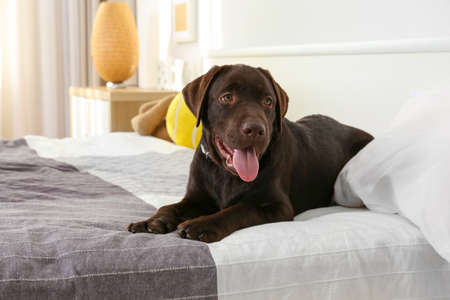 Chocolate labrador retriever on bed at home
