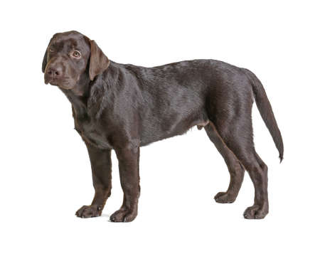 Chocolate labrador retriever on white background Stock Photo