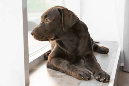 Chocolate labrador retriever near window at home Stock Photo