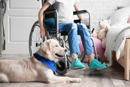 Cute service dog lying on floor near girl in wheelchair indoors Imagens