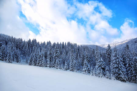 Beautiful landscape of snowy fir forest in mountain country