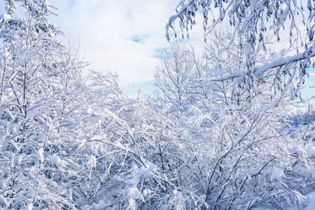 Tree branches covered with snow on winter day Stock Photo