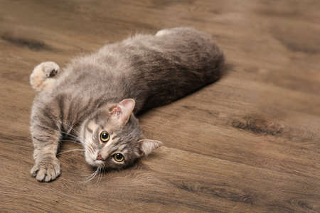Funny overweight cat lying on wooden floor
