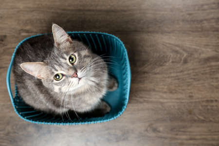 Funny overweight cat sitting in plastic basket at home, top view