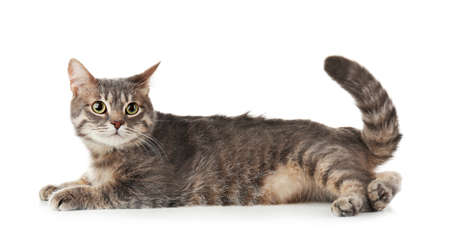 Funny overweight cat on white background