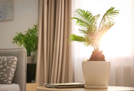 Flowerpot with tropical palm on table against window indoors