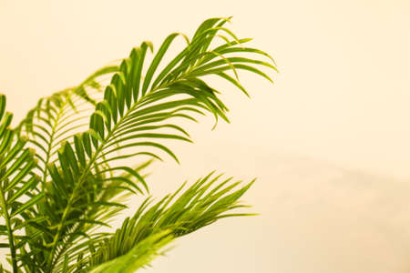 Tropical palm with bright green leaves on light background