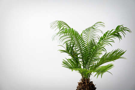 Tropical palm tree with green leaves on light background Stock Photo