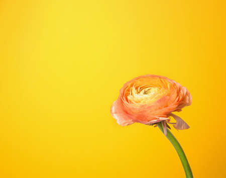 Beautiful ranunculus flower on color background Stock Photo