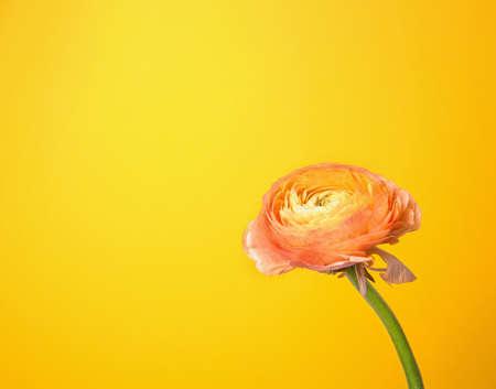 Beautiful ranunculus flower on color background