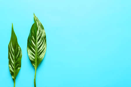 Beautiful tropical Spathiphyllum leaves on color background, top view