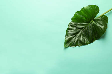 Beautiful tropical Taro plant leaf on color background, top view
