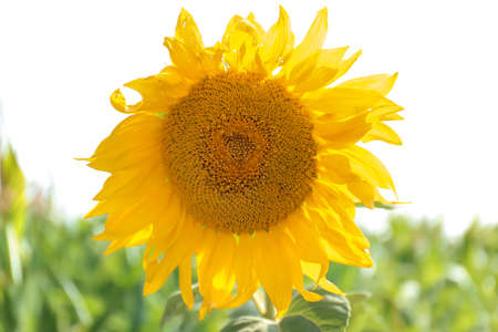 Bright yellow sunflower in field
