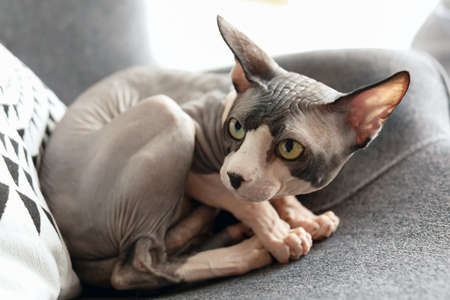 Sphynx cat resting on armchair at home Stock fotó