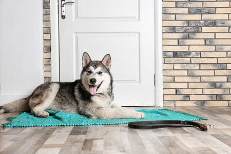 Cute Alaskan Malamute dog with leash lying on floor near door