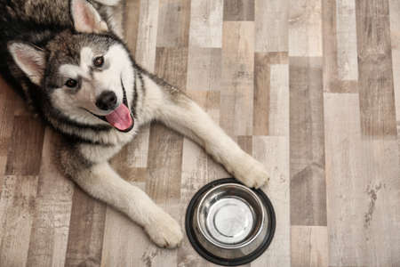 Cute Alaskan Malamute dog with bowl lying on floor, top view