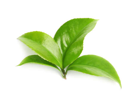 Green leaves of tea plant on white background