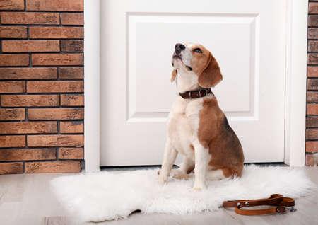 Lindo perro Beagle sentado y correa en el piso cerca de la puerta