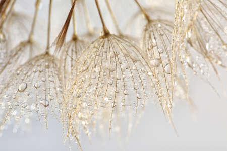 Dandelion seeds on light background, close up 版權商用圖片