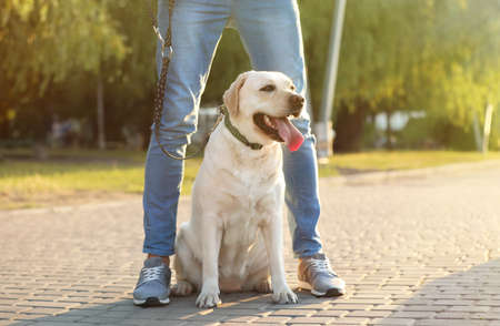 Owner walking his yellow labrador retriever outdoors