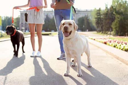 Owners walking their labrador retrievers outdoors on sunny day