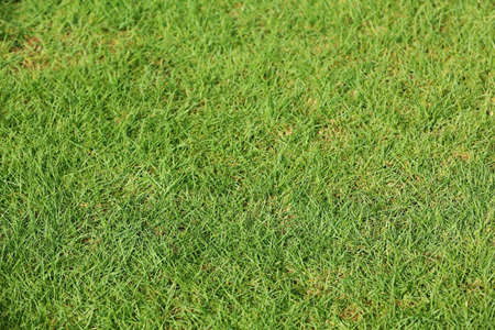 Green lawn with fresh grass as background, closeup Stock Photo