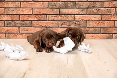 Mischievous chocolate Labrador Retriever puppies and torn paper near wall indoors