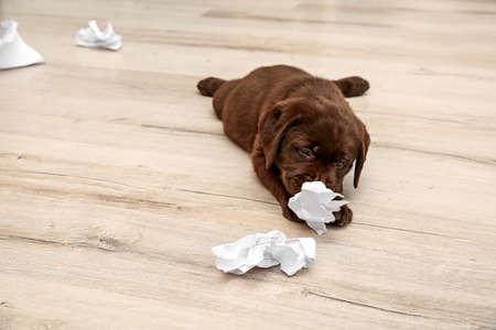 Mischievous chocolate Labrador Retriever puppy and torn paper on floor