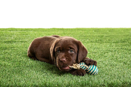 Chocolate Labrador Retriever puppy playing with toy on green grass against white background Stock Photo