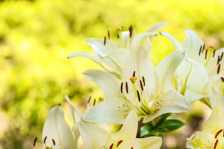 Beautiful blooming lily flowers in garden, closeup