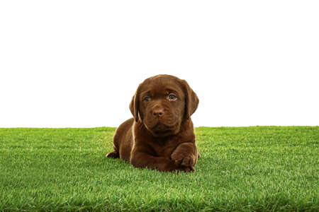 Chocolate Labrador Retriever puppy on green grass against white background