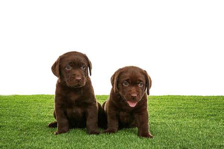 Chocolate Labrador Retriever puppies on green grass against white background