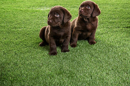 Chocolate Labrador Retriever puppies on green grass