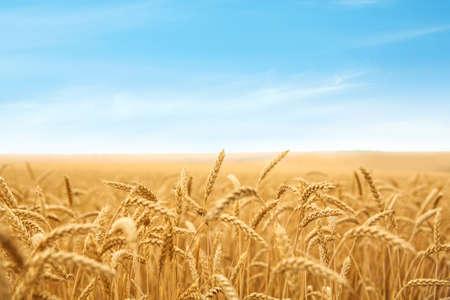 Campo de trigo en día soleado. Cultivo de cereales