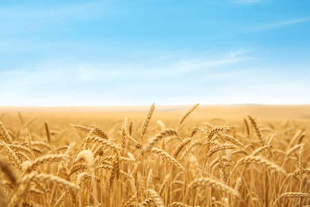 Wheat grain field on sunny day. Cereal farming Фото со стока