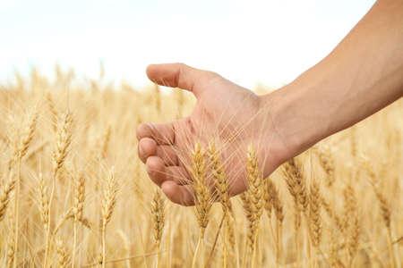 Agronomo nel campo di grano, primo piano. Coltivazione di cereali Archivio Fotografico - 106280844