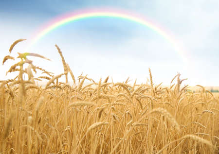 Beautiful view of landscape with rainbow and wheat field