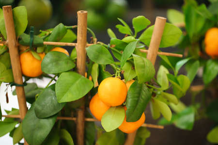 Beautiful calamondin shrub with fruits, closeup. Stock fotó
