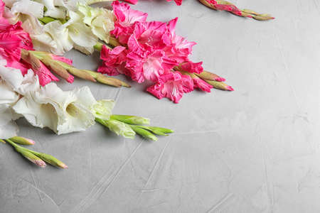Composition with beautiful gladiolus flowers on gray background