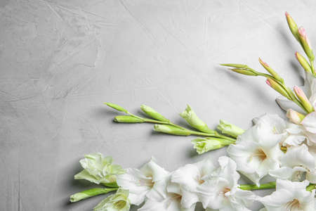 Flat lay composition with beautiful gladiolus flowers on gray background