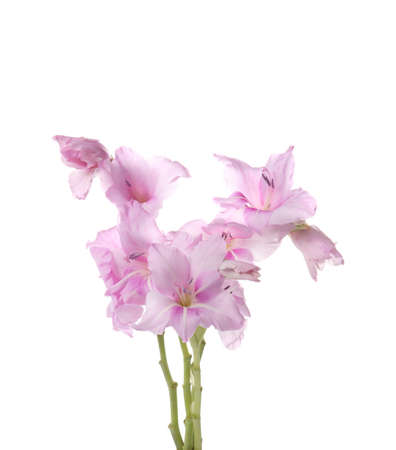 Beautiful gladiolus flowers on white background Stock fotó