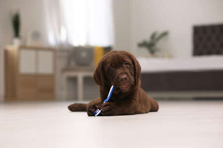 Adorable chocolate labrador retriever with toothbrush on floor indoors