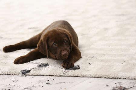 Chien mignon laissant des empreintes de pattes boueuses sur un tapis Banque d'images