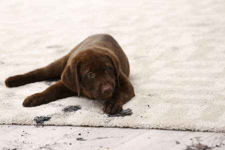 Cute dog leaving muddy paw prints on carpet Stok Fotoğraf - 106514901