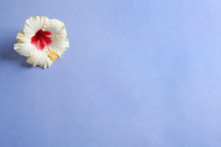 Beautiful tropical Hibiscus flower on color background with space for design, top view
