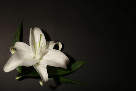 Beautiful lily and space for text on dark background. Funeral flower