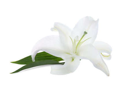 Beautiful lily on white background. Funeral flower Stock Photo